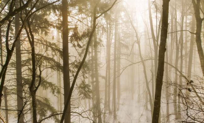 Forêt dans la neige